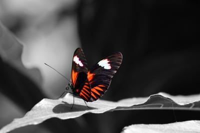 Postman Butterfly by missheru