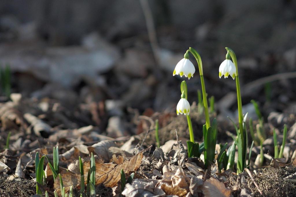 SpringSnowflake