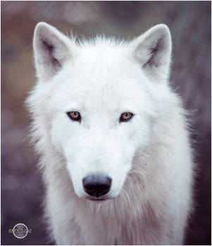 White wolf III by RemusSirion