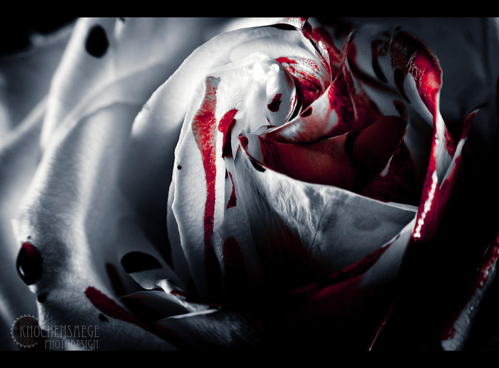 White rose IV by RemusSirion