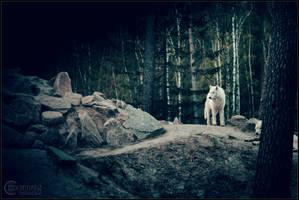 White wolf in the dark