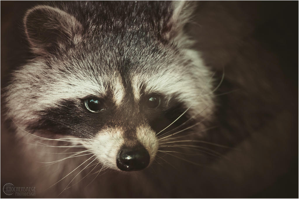 racoon close up by RemusSirion