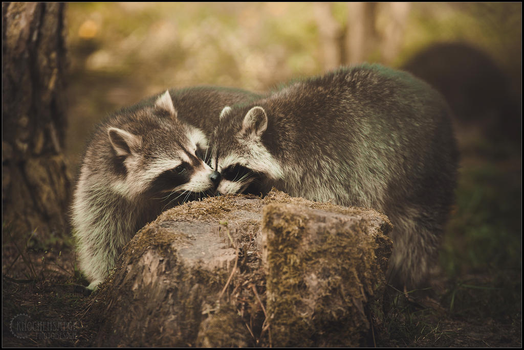 racoon love by RemusSirion