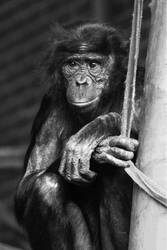 Black and White Chimp