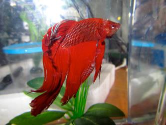 RedBetta by kelpish
