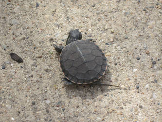 Baby Turtle by supercilious-zahhy