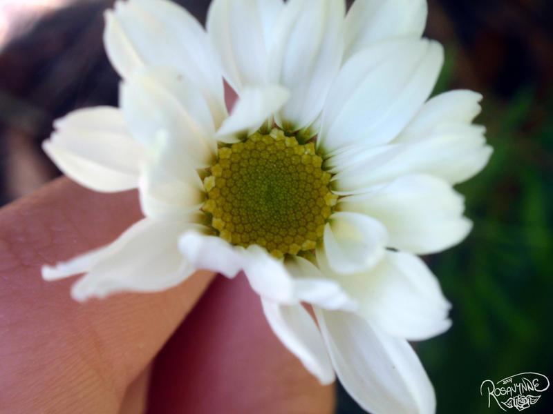 Daisy III by Rosavynne