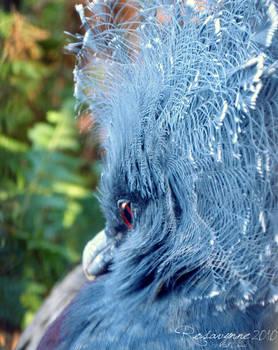 Victoria Crowned Pigeon: Turn
