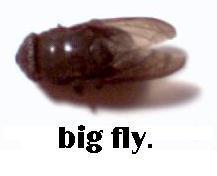 big fly by jokerrabit