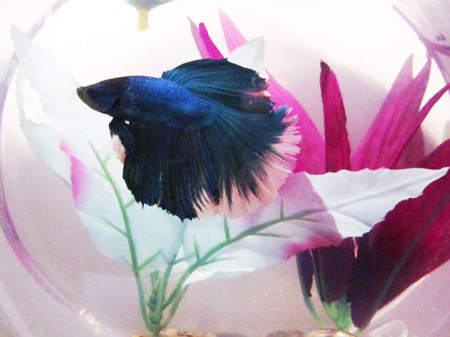 Nifty the betta fish by white wings 101 on deviantart for Betta fish friends