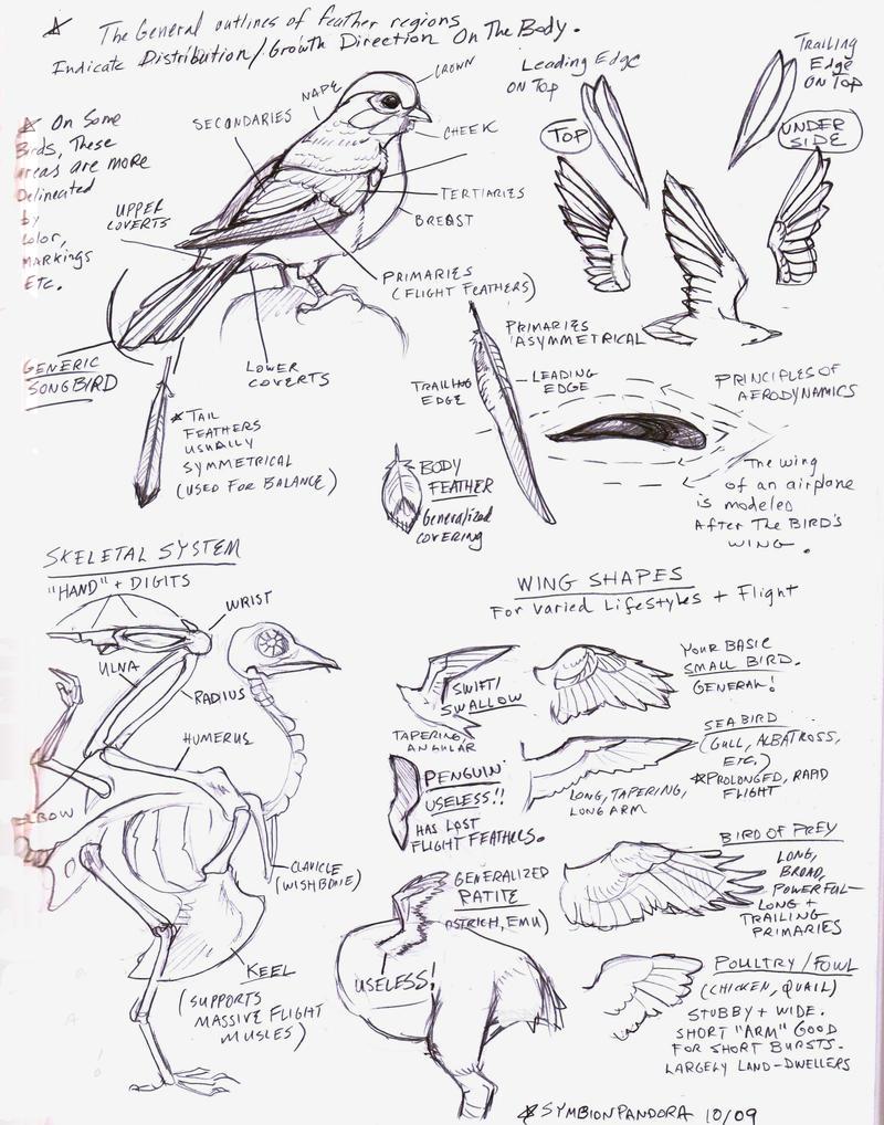 Bird Wings Tutorial Sketch By Eva-st-clare On DeviantArt