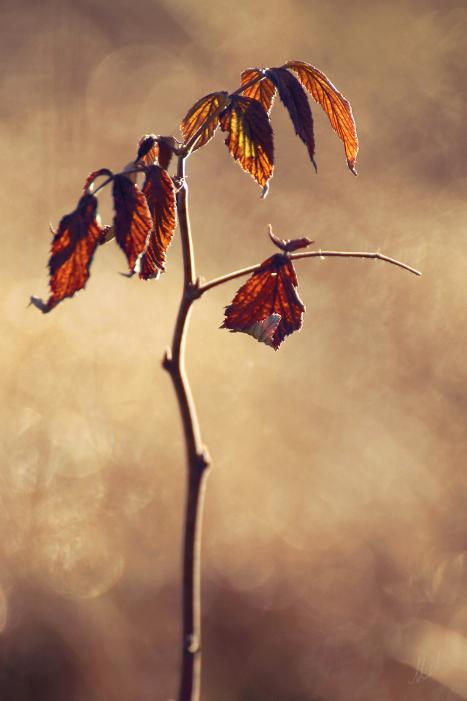Raspberry leaves by Haapmi