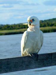 Cockatoo overlooking lake