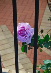 A Rose Imprisioned