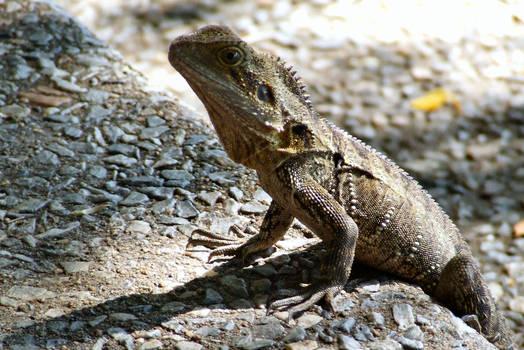Lizard Lunch