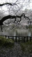 Kichijoji, Inokashira Park 6