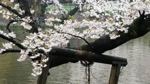 Kichijoji, Inokashira Park 7