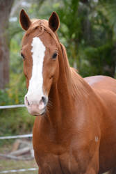 Chestnut Arabian X Riding Pony Face by Dawn-Photography5