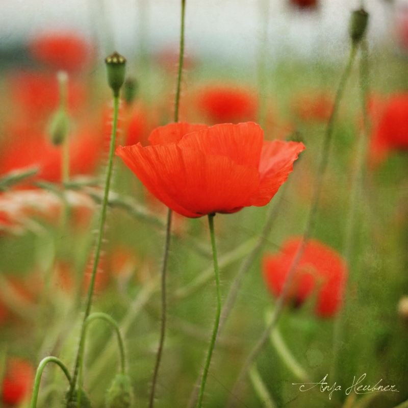 poppyfields by meldir