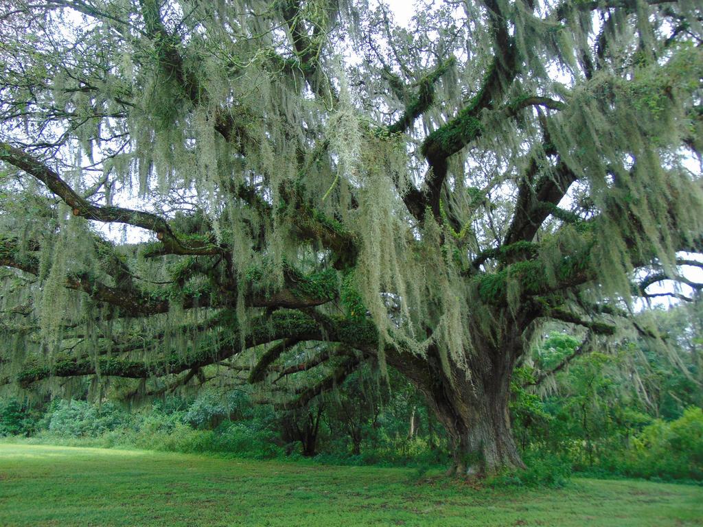 Ancient Tree By Lamoonstar On Deviantart