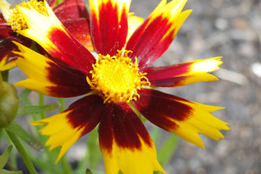 My Garden: Fireweed
