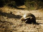 Turkish Tortoise by FirstLightStudios