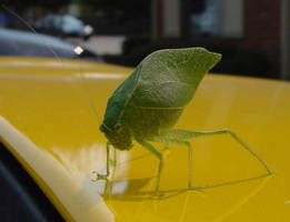 leaf bug on yellow Corvette