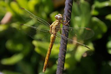+Photo+ - Dragonfly