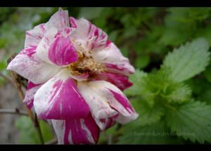 Pink+White Flower