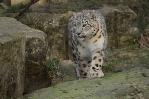 Snow leopard by Graenmetisaeta