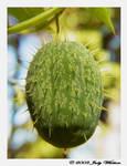 Wild Cucumber by Tazzy-