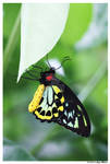 Cairns Birdwing Butterfly by Tazzy-