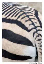 Zebra Stripes by Tazzy-