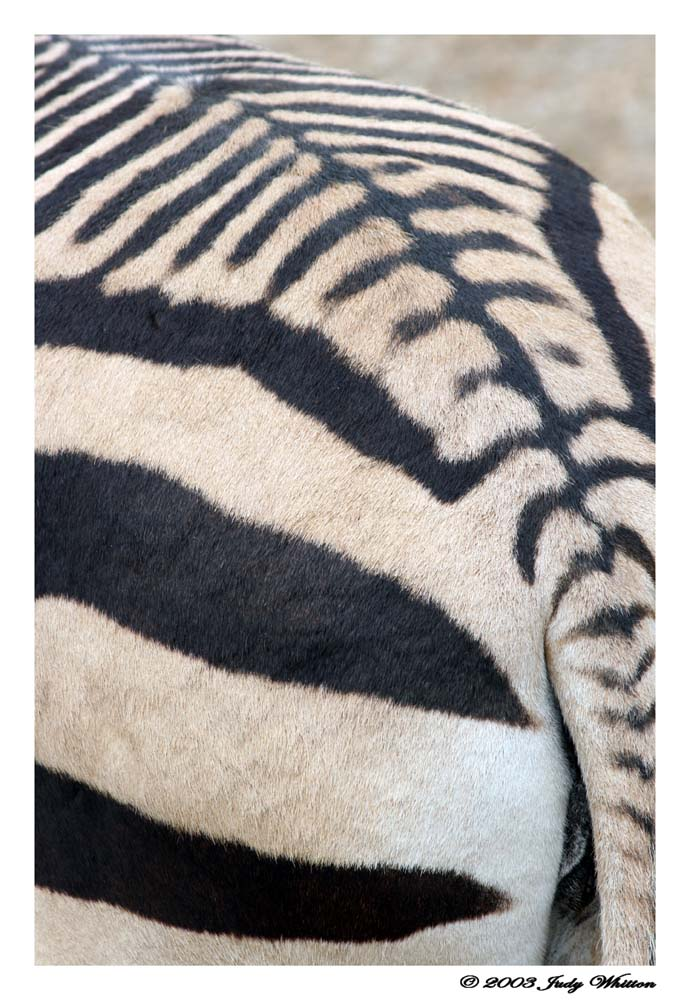 Zebra Stripes by Tazzy-