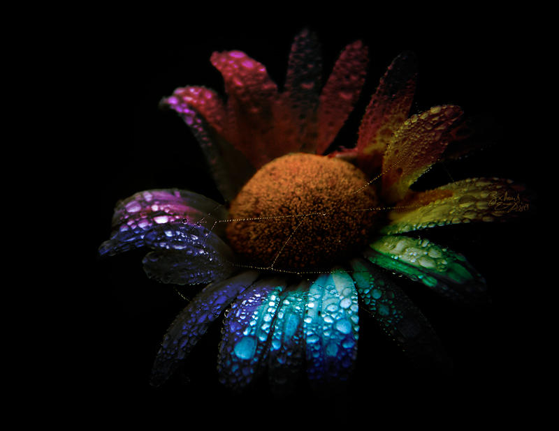 Color Wheel Daisy