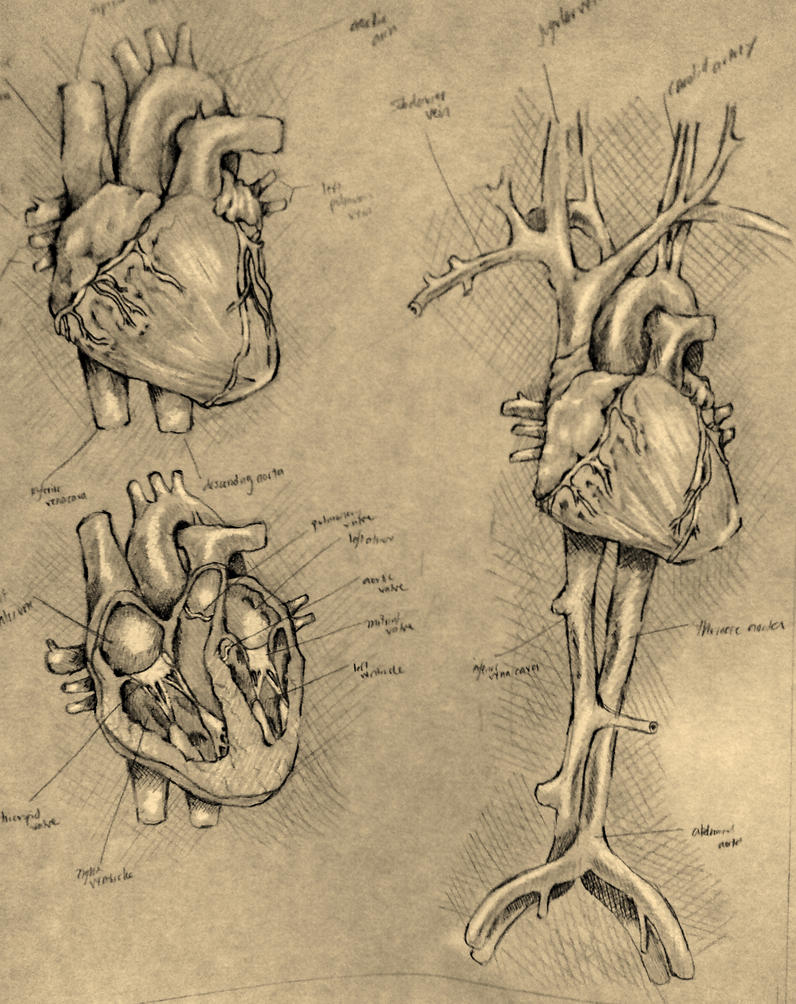 Heart Diagram By Thedeviantdrawer On Deviantart