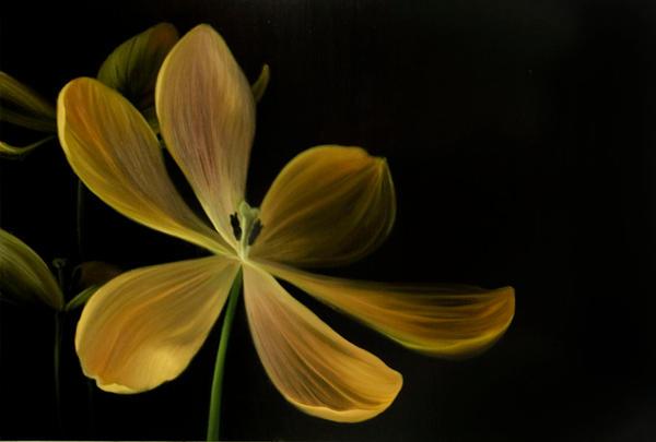 Tulipa gesneriana by elfgirlkimmy