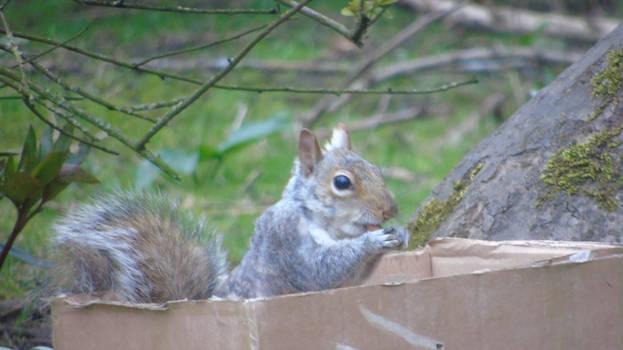 Grey squirrel eating inside box