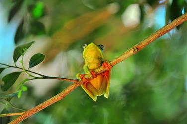 Frog perereca by adaosalles