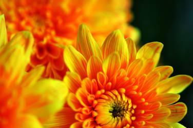 Crisantemo amarelo