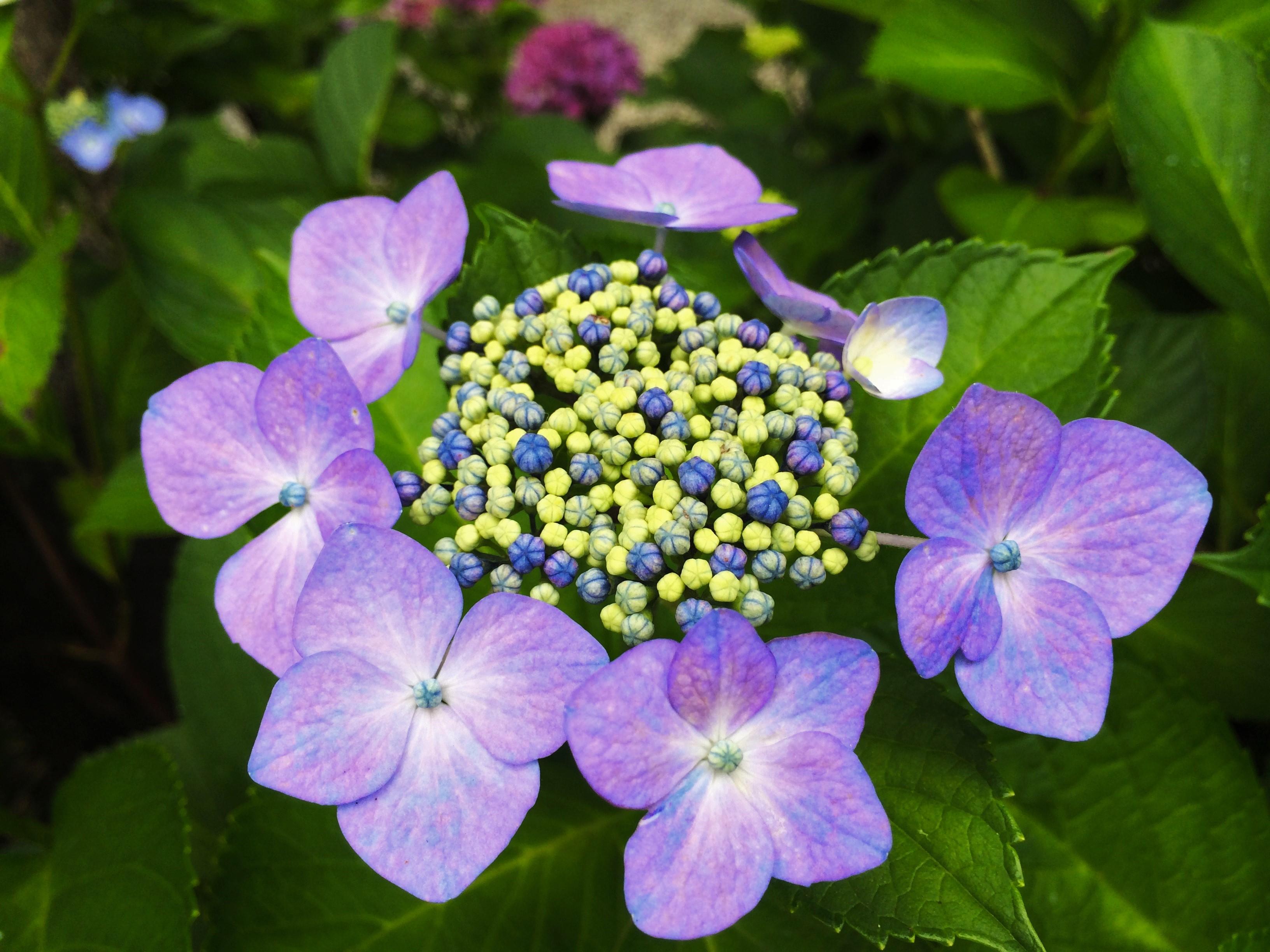 Purpleblue Japanese Flower By Wowsteph On Deviantart