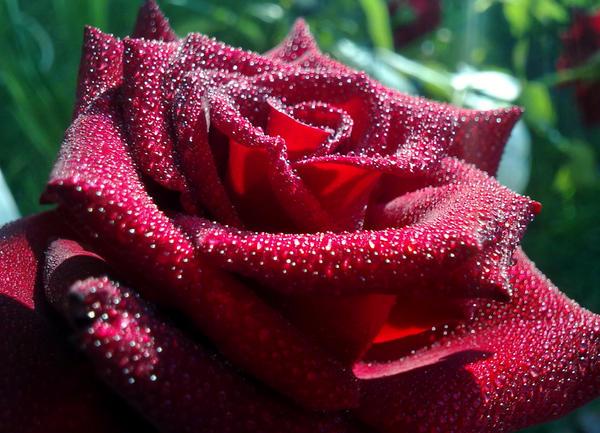 rose. by DreyerDan