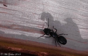 Ant Shadow...