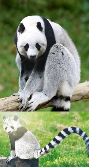 Panda Lemur