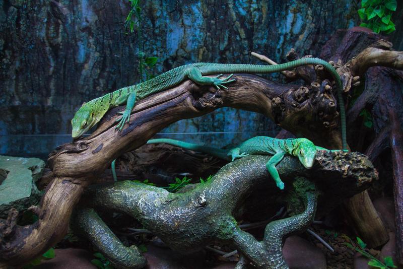 Lizard stock 4973