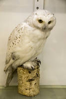 Polar owl 7228 by zummerfish