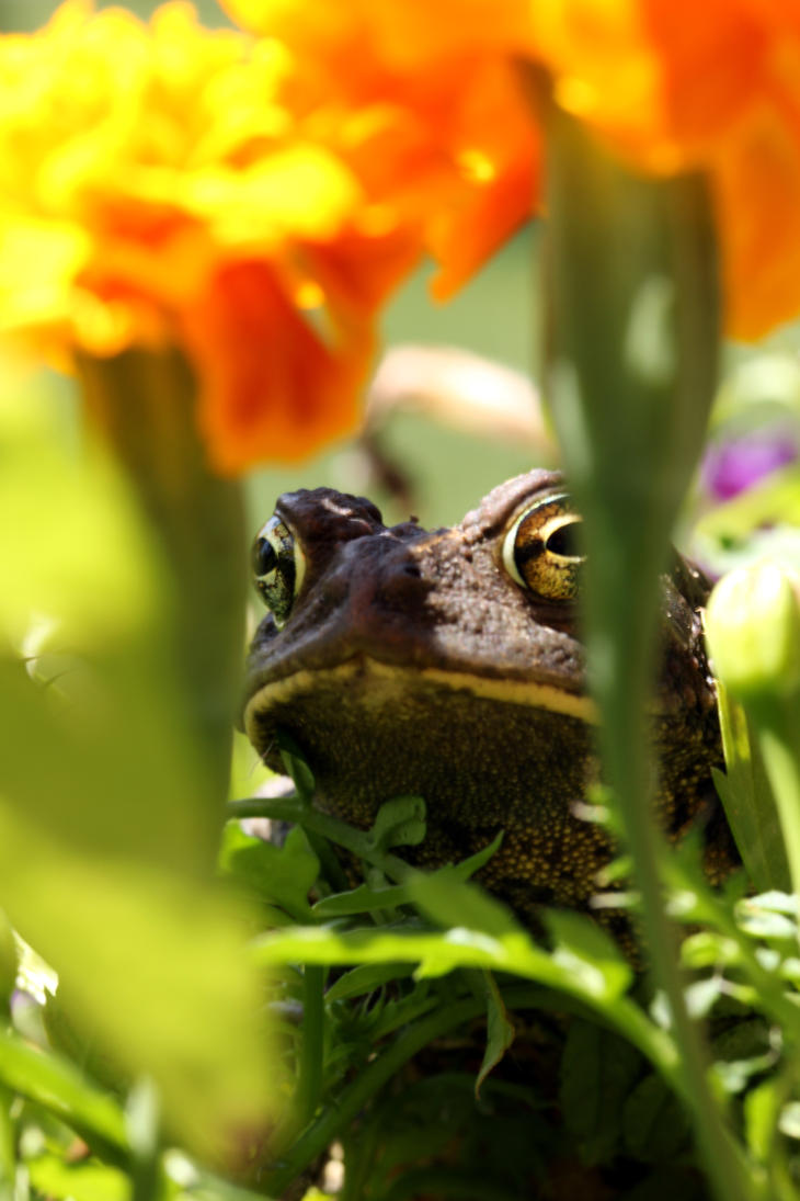 Toad in the Flower Box by Souzay