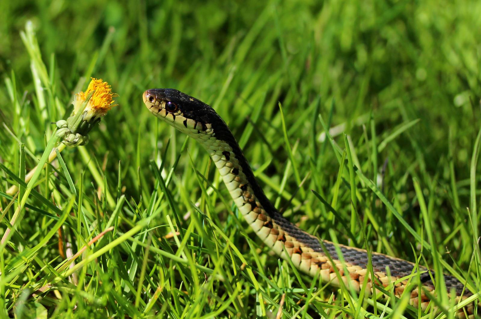 Garter Snake by Souzay