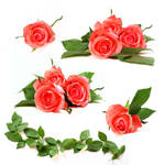 Stock Roses