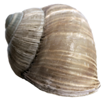 Stock Snail Shell 2 PNG